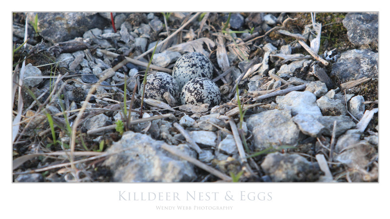 killdeer nest and eggs