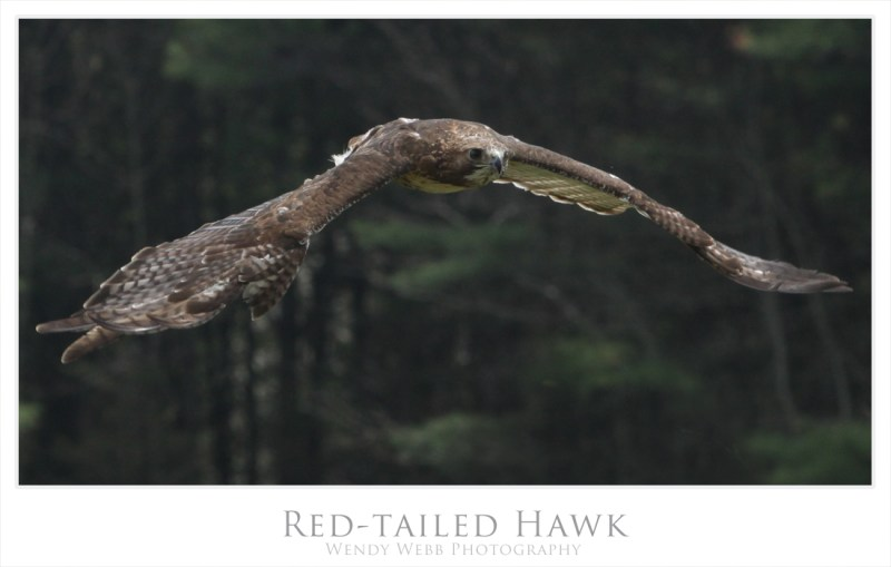 red-tailed 2
