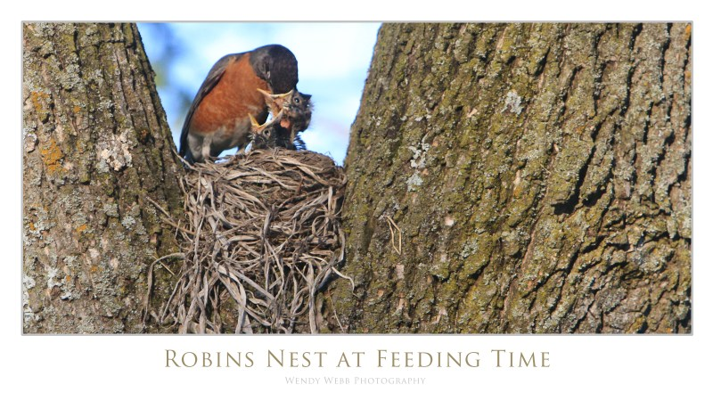robin and chicks