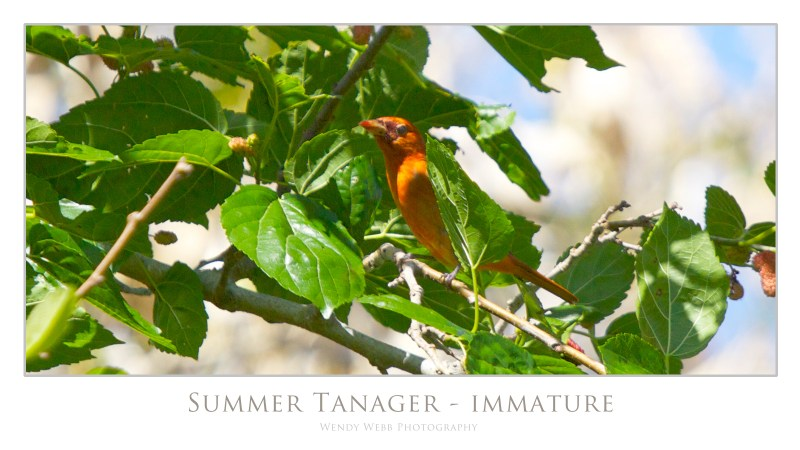 summer tanager immature