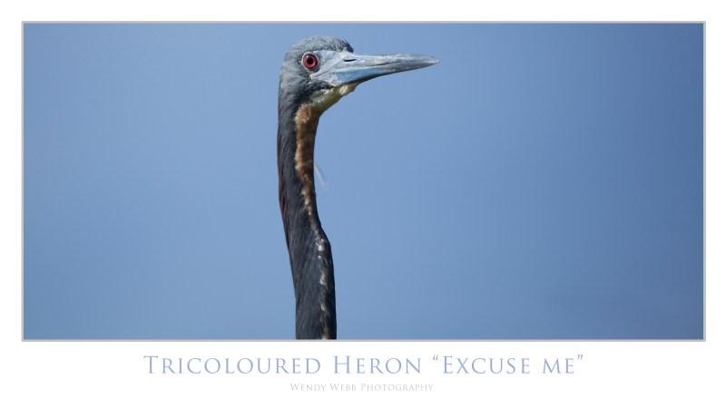 tri coloured heron
