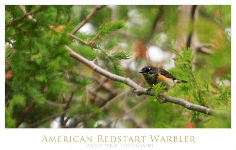American Redstart Warbler 2