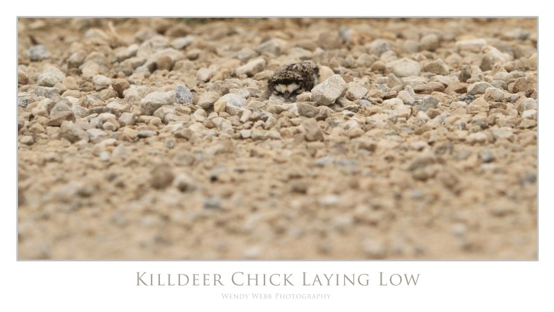 Killdee Chick laying low in the gravel