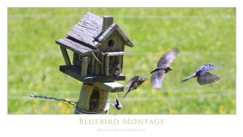 bluebird montage