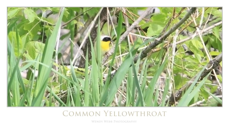 common yellow throat in grasses
