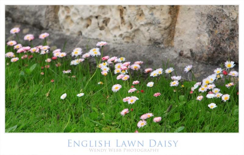 english lawn daisy