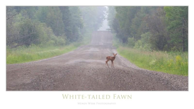 whitetailed