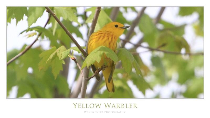 yellow warbler 7