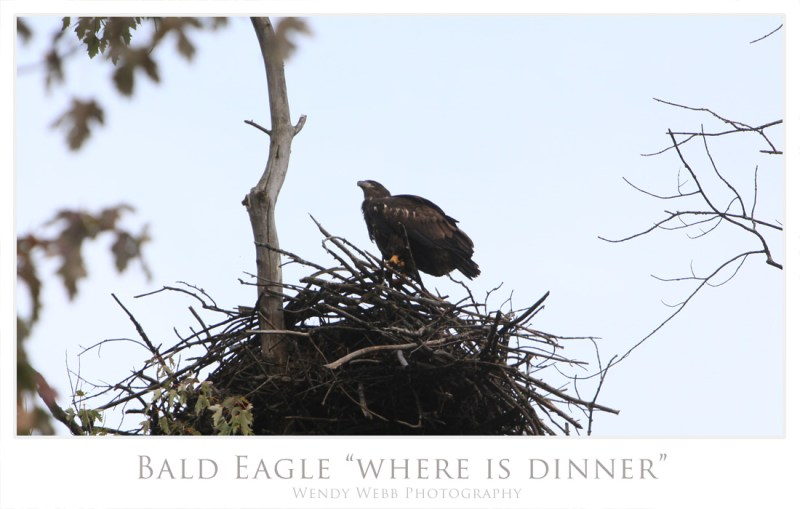 bald eagle chick 1