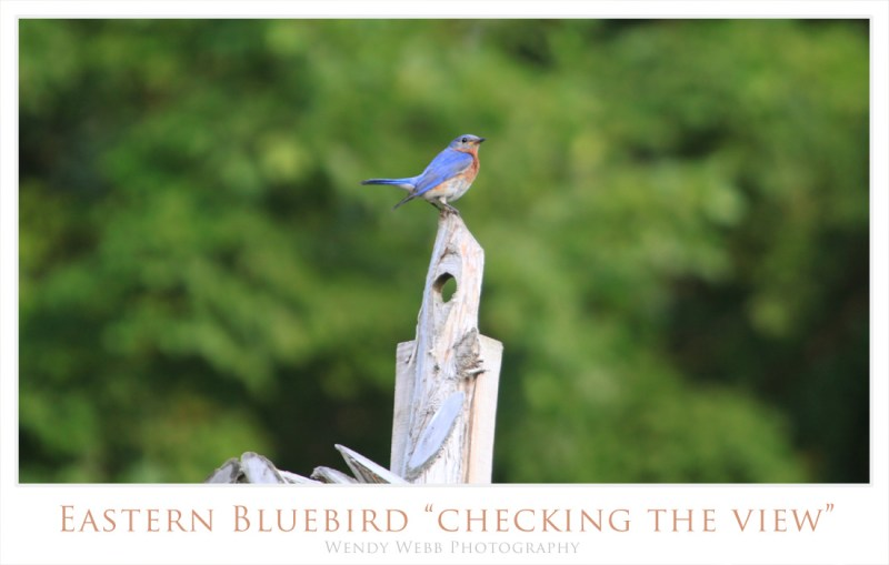 eastern bluebird checking the view