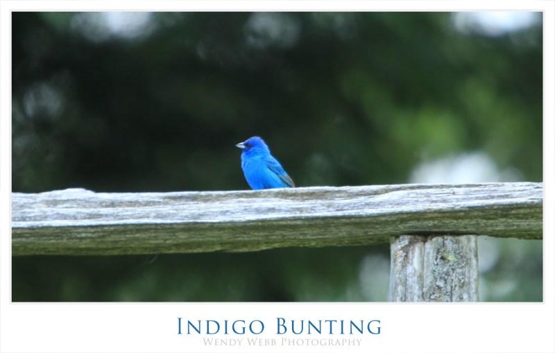 indego bunting