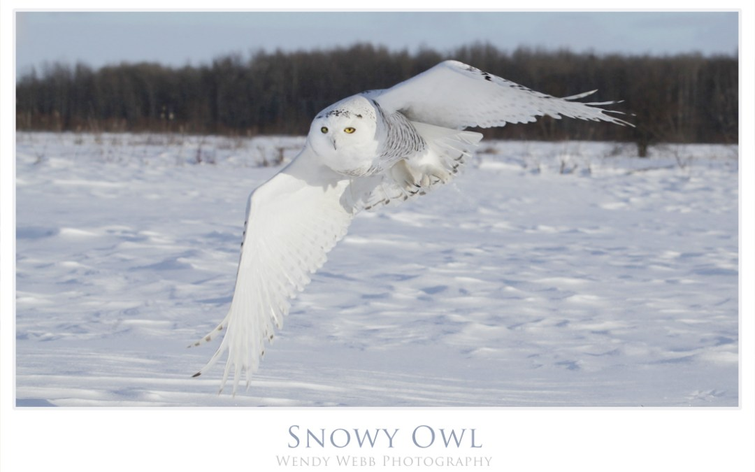 Snow Owl hunting