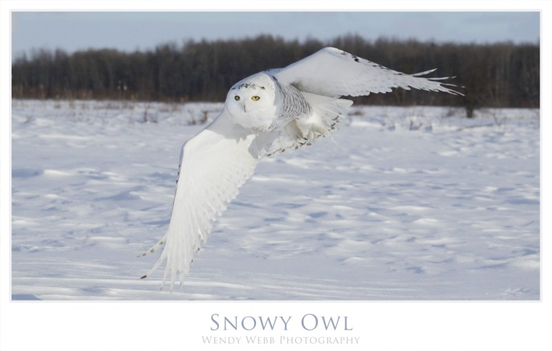 snowy owl march 2016