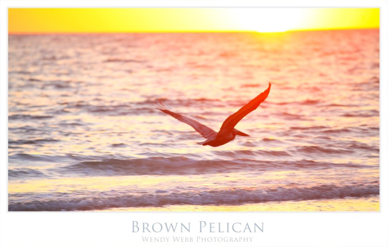 brown pelican 5