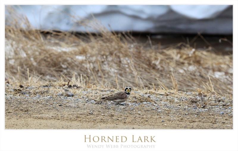 horned lark 2