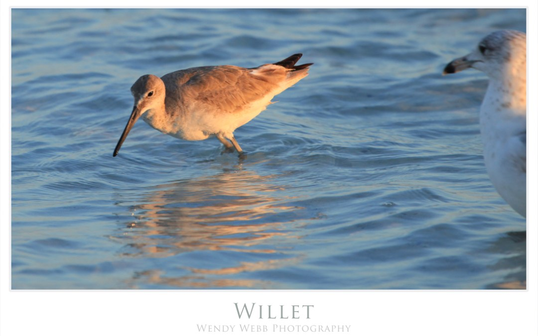 Willets on the beach