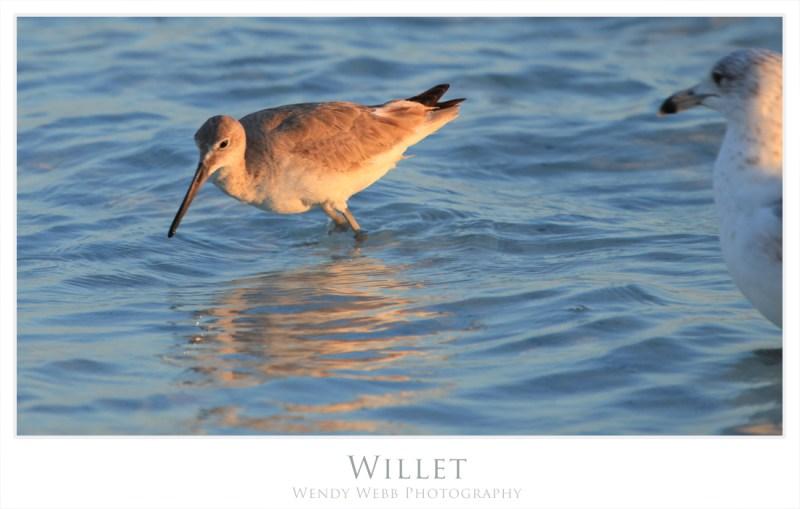 willet 4