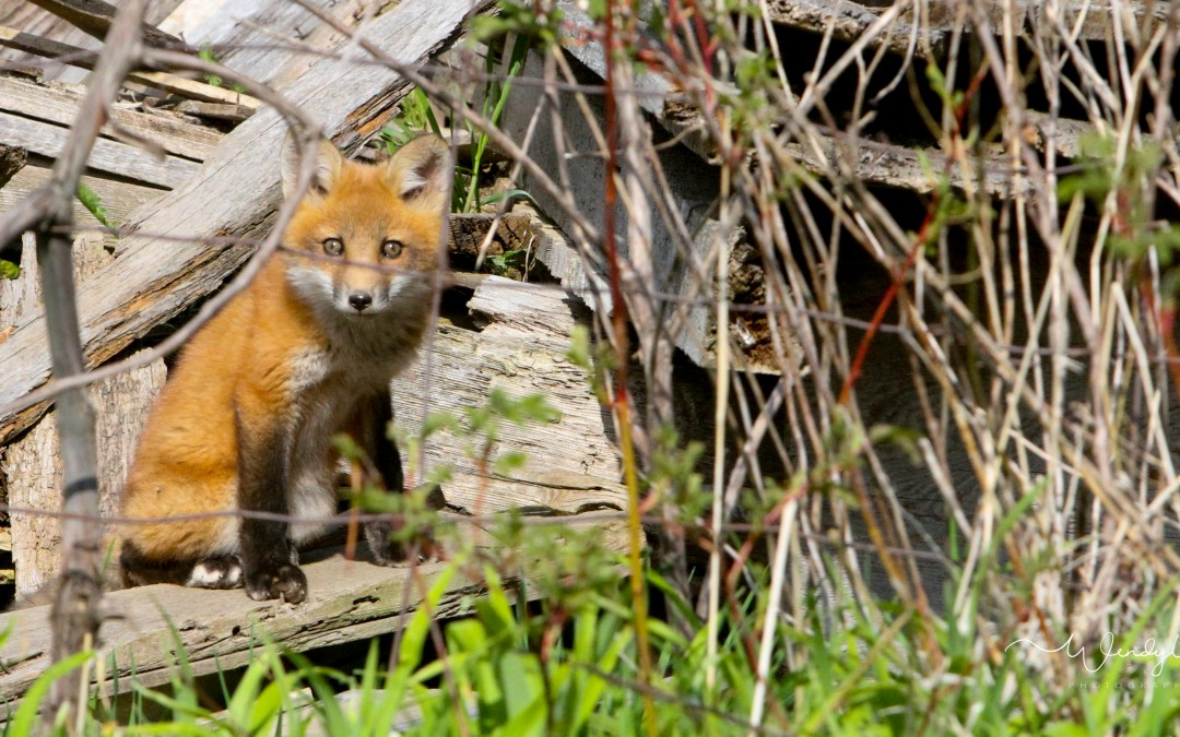 Fox Kits playing in an old ruin