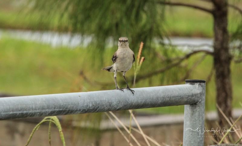 Mockingbird 4