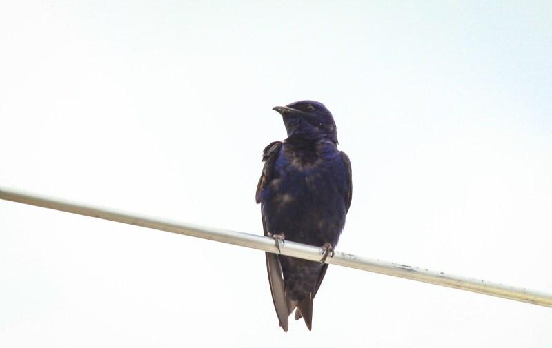 Purple Martin 4