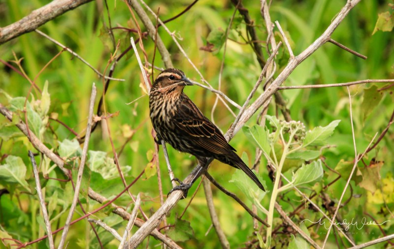 Red Winged Blackbird 1