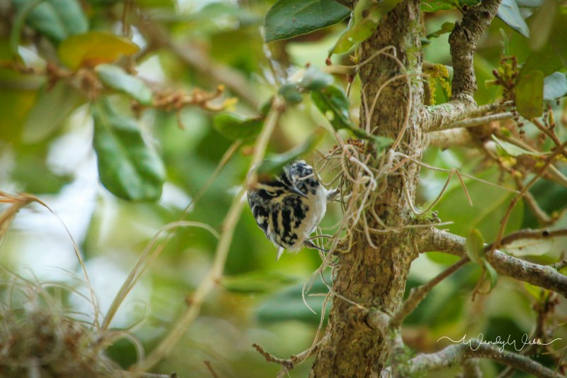 Black and White Warbler -1000