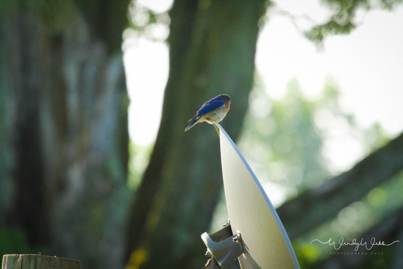 Blue Bird on dish - 1 (1)