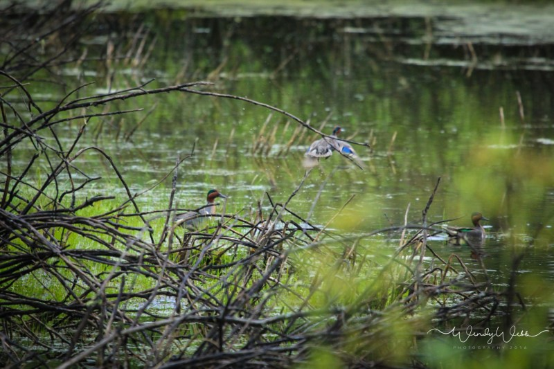 Green Winged Teal - 2
