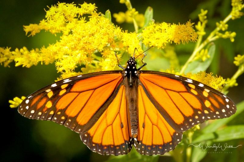 Monarch_-2