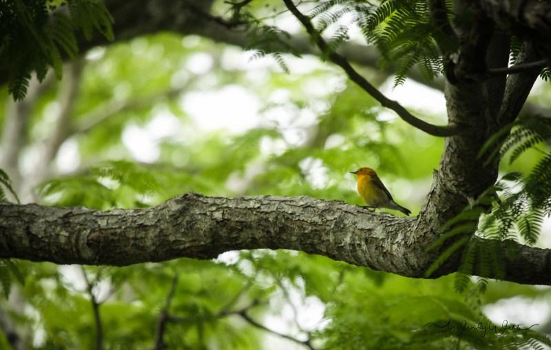 Prothonatory Warbler 16