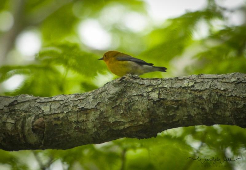 Prothonatory Warbler 22
