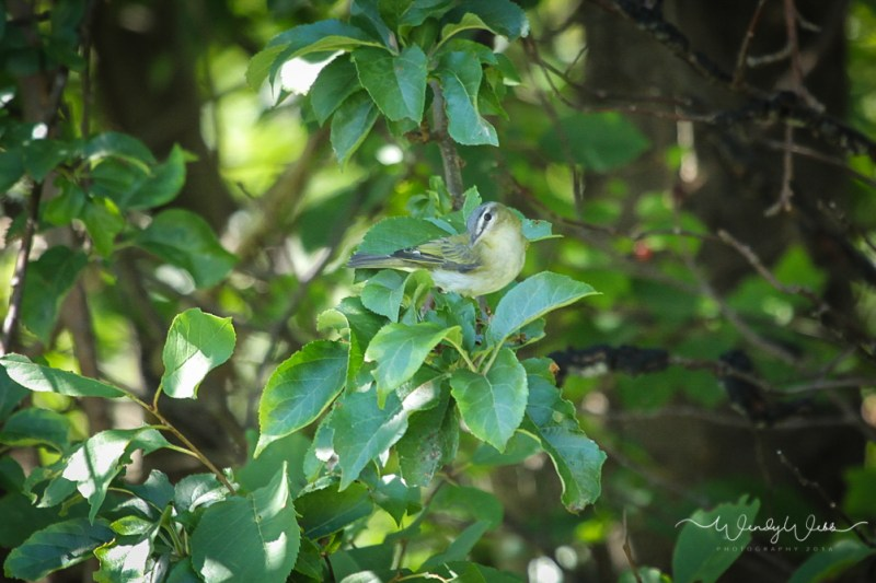 Red Eyed Vireo s-2