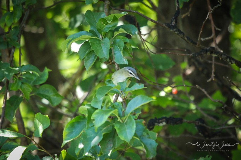 Red Eyed Vireo s