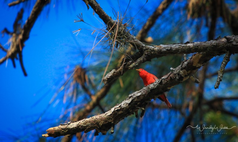 Summer Tanager 02