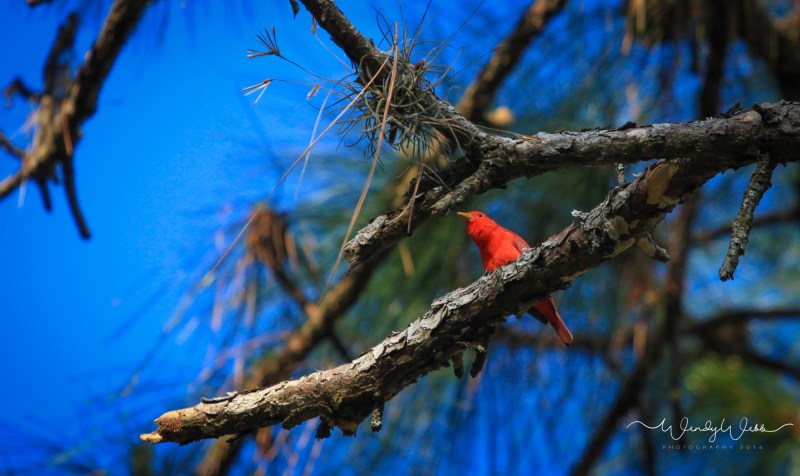 Summer Tanager01