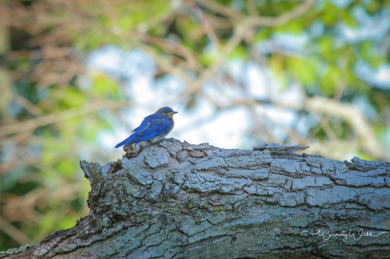blue Bird in apple tree - 5
