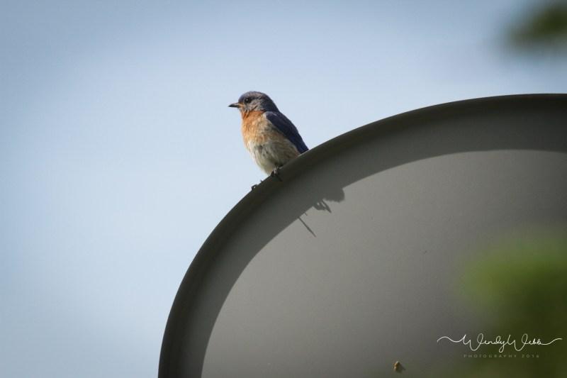 blue bird on dish - 1