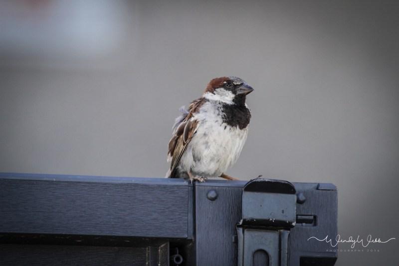 house sparrow - 4