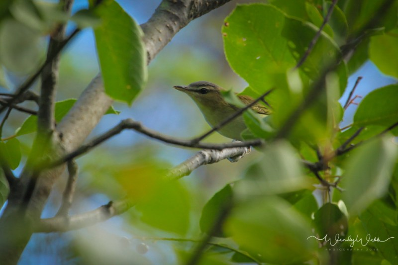 red eyed vireo_