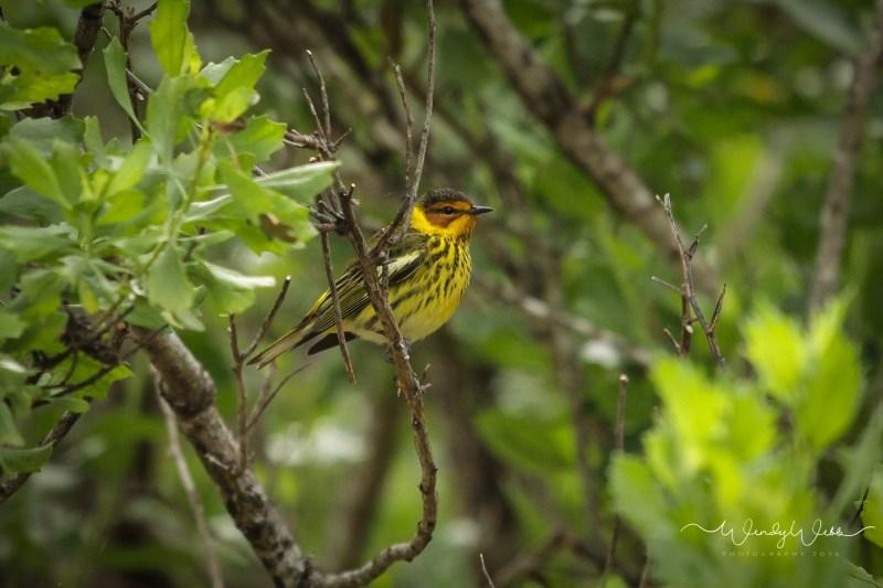 warbler in bush06