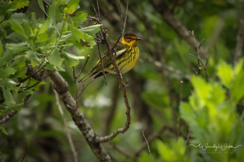 warbler in bush07