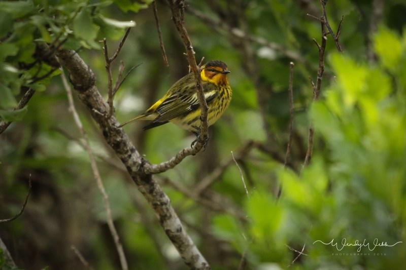 warbler in bush10