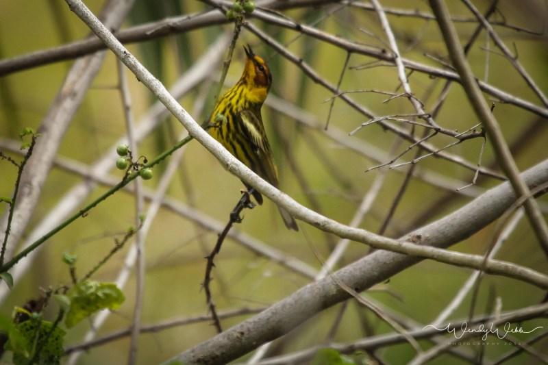 warbler in bush13