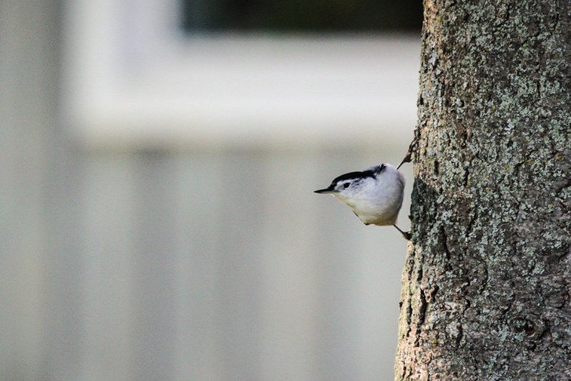 white-breasted-nuthatch-3