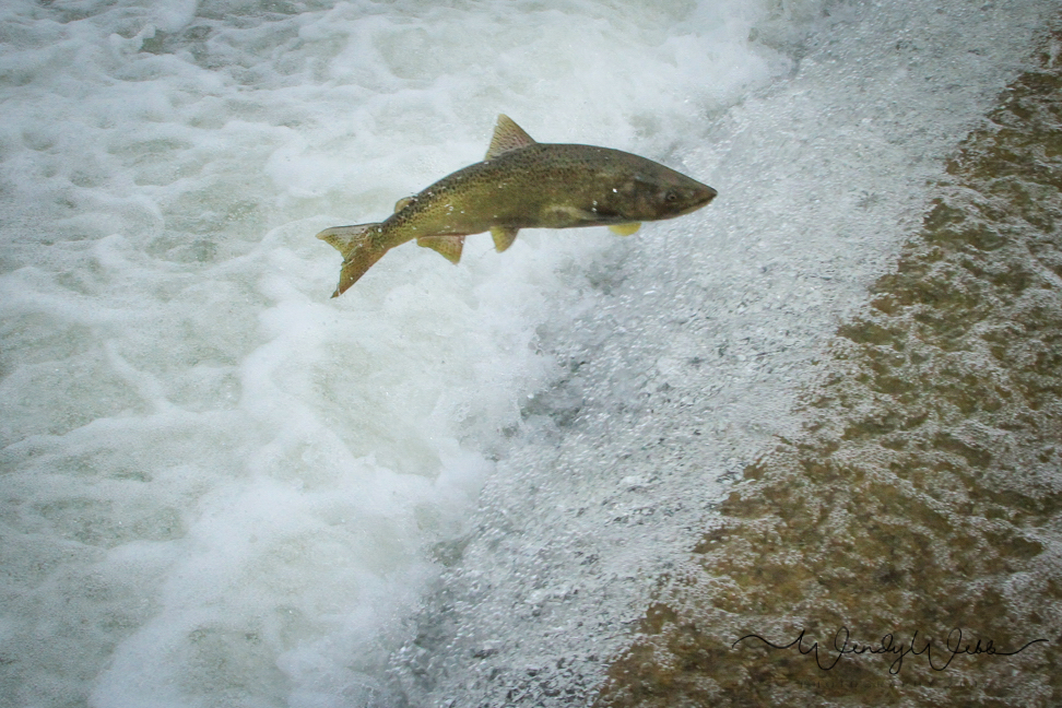 Chinook Salmon spawning run upstream