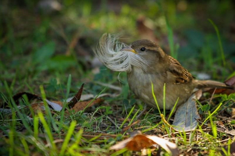 house-sparrow-5