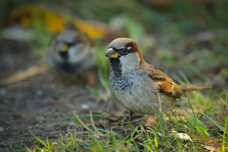 house-sparrow-7