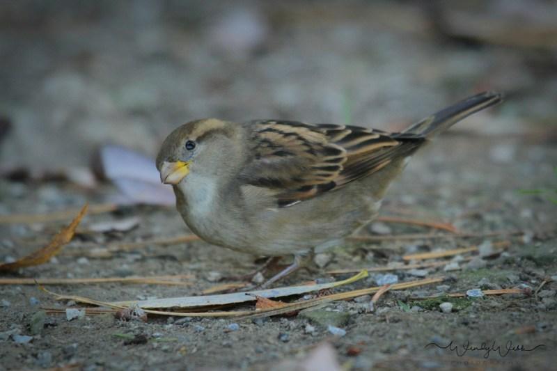 house-sparrow-9