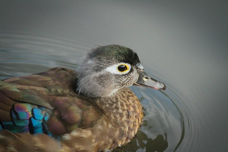 wood-duck-15