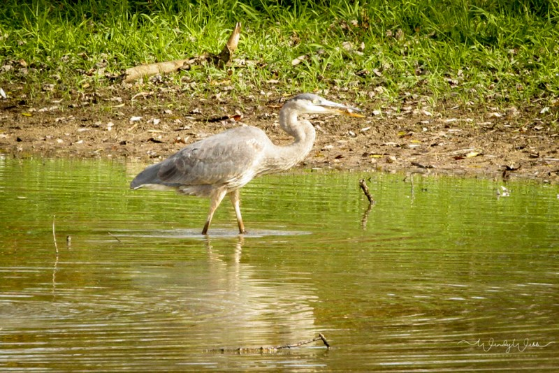 heron-fishing-100
